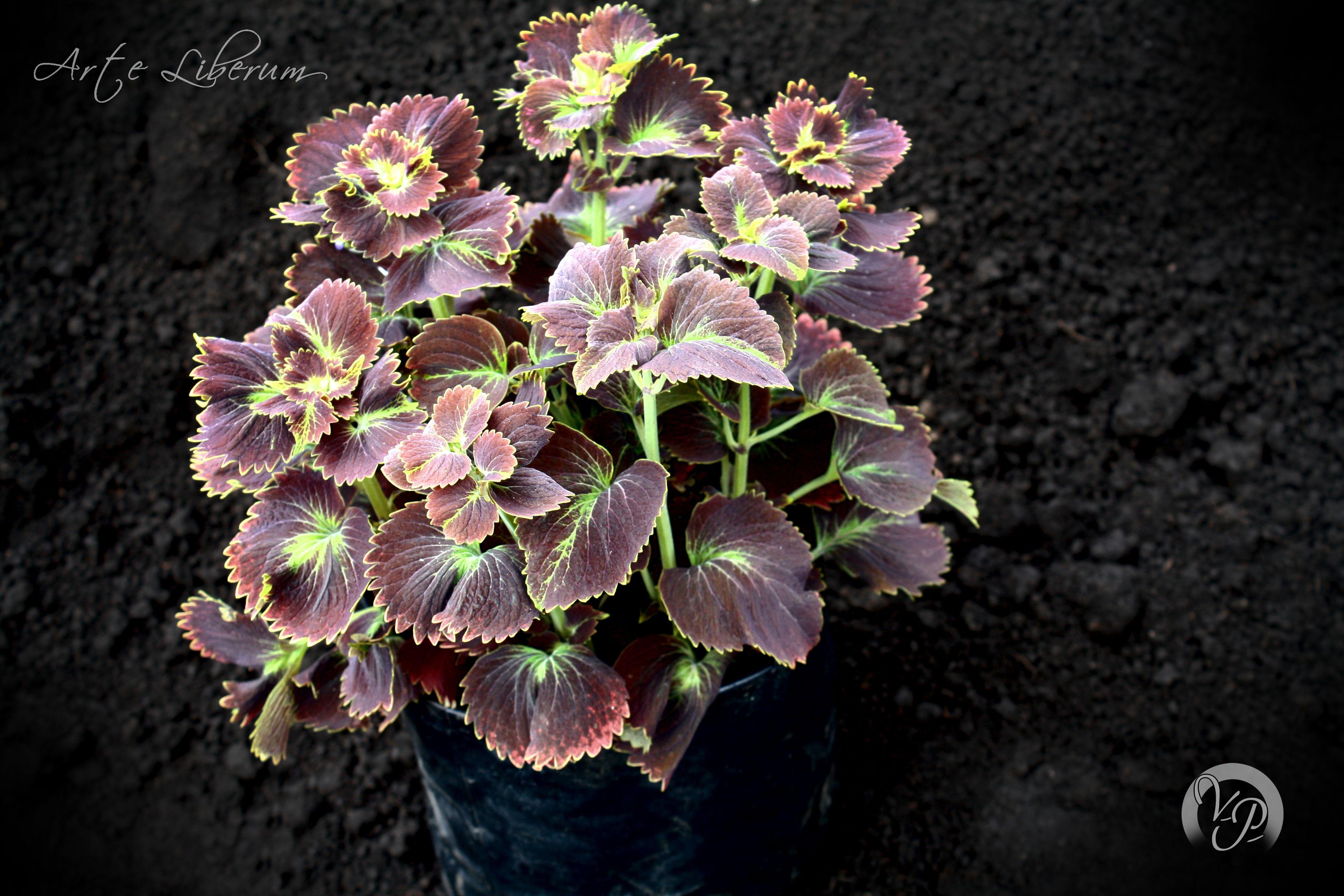 Armonia Botanica