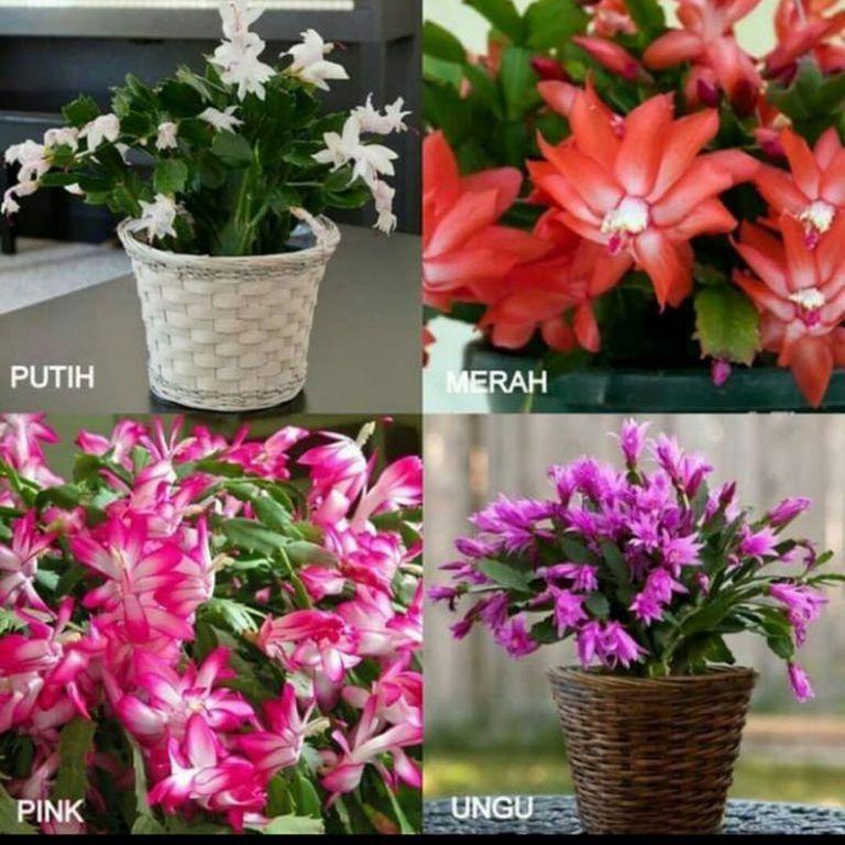 Tanaman Hias Wijaya Kusuma Aneka Warna Vivijaya Tanaman Bunga Gambar