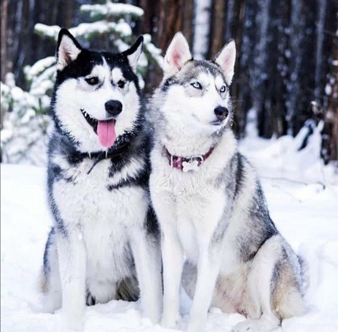 Pin By Alaric Cale On Siberian Huskies Wolf Dog Siberian Husky