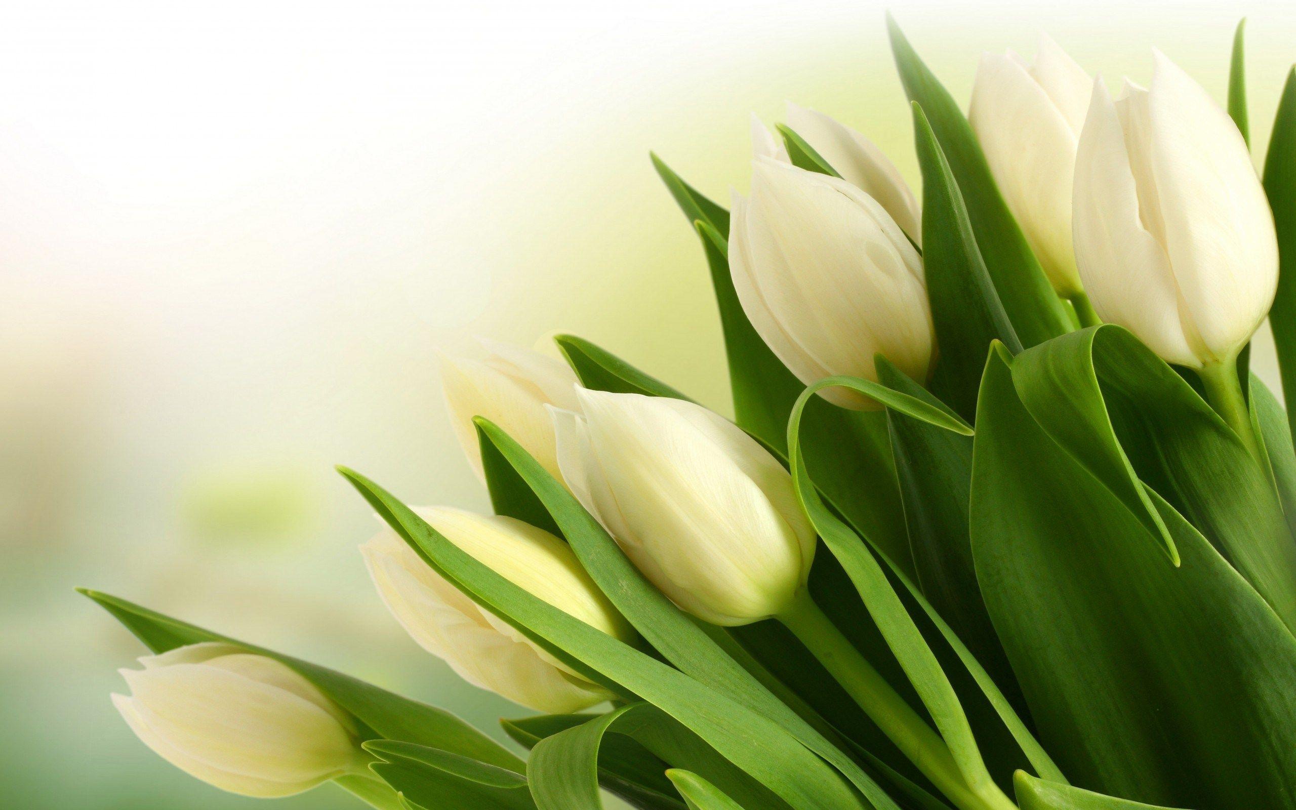 White Tulips Wallpaper Tulips Flowers Tulips White Tulips