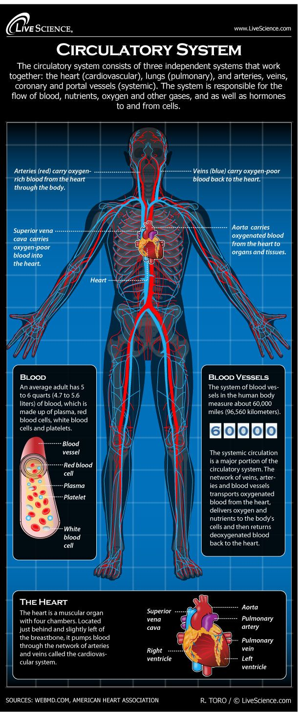 Circulatory System: Facts, Function & Diseases | Anatomía ...