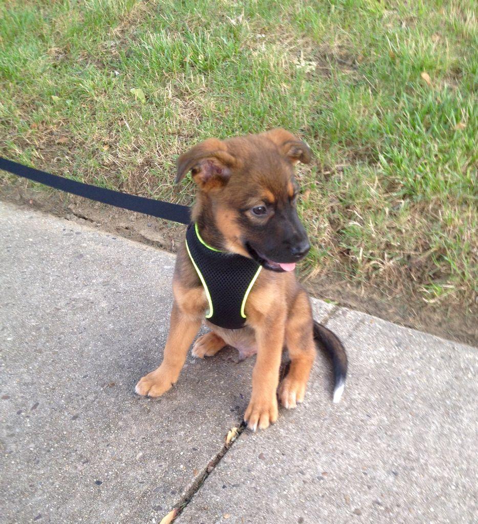 Mutt Puppy Rottweiler Labrador Border Collie Blue Heeler Mix