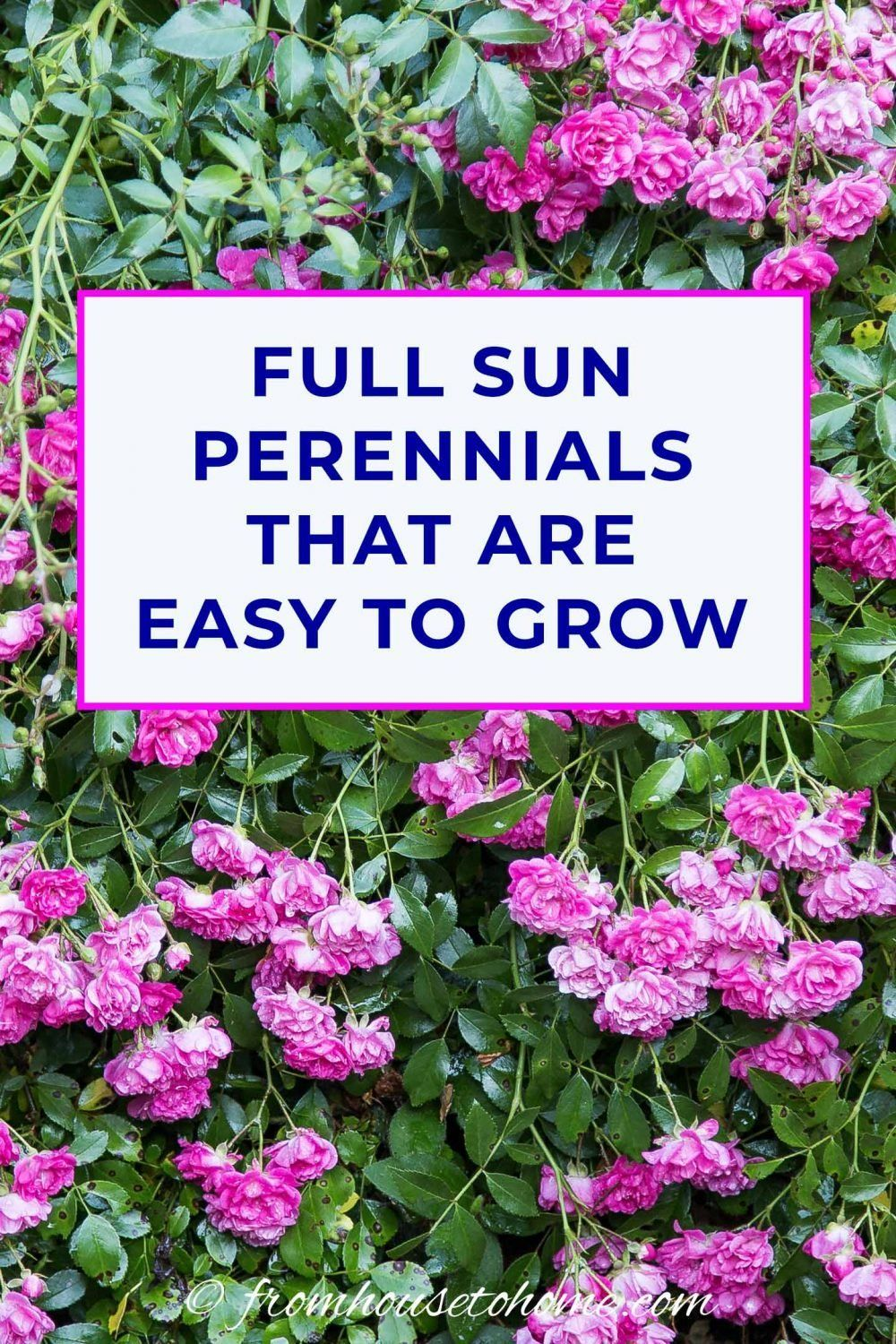 Full Sun Perennials 15 Beautiful Low Maintenance Plants That Thrive In The Sun Gardening From House To Home In 2020 Full Sun Perennials Sun Perennials Easy Care Plants