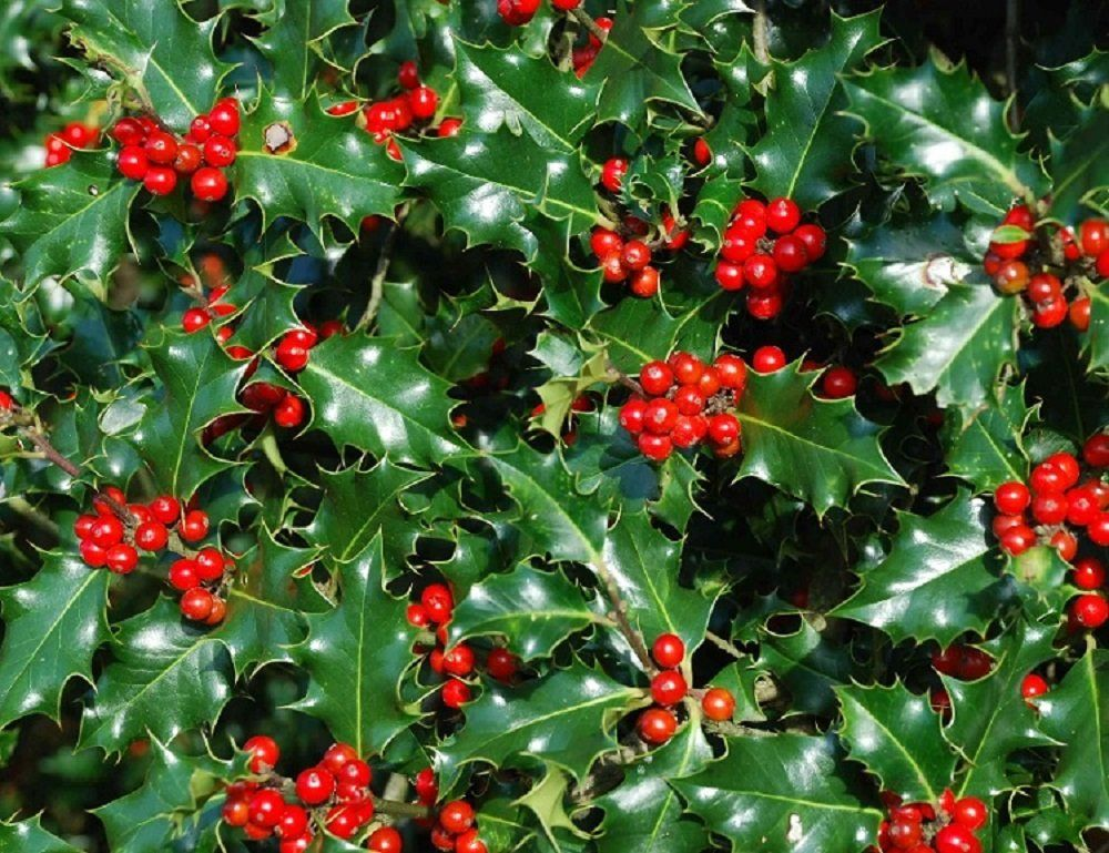 1X 2FT ILEX AQUIFOLIUM ENGLISH HOLLY PLANT - EVERGREEN SHRUB TREE