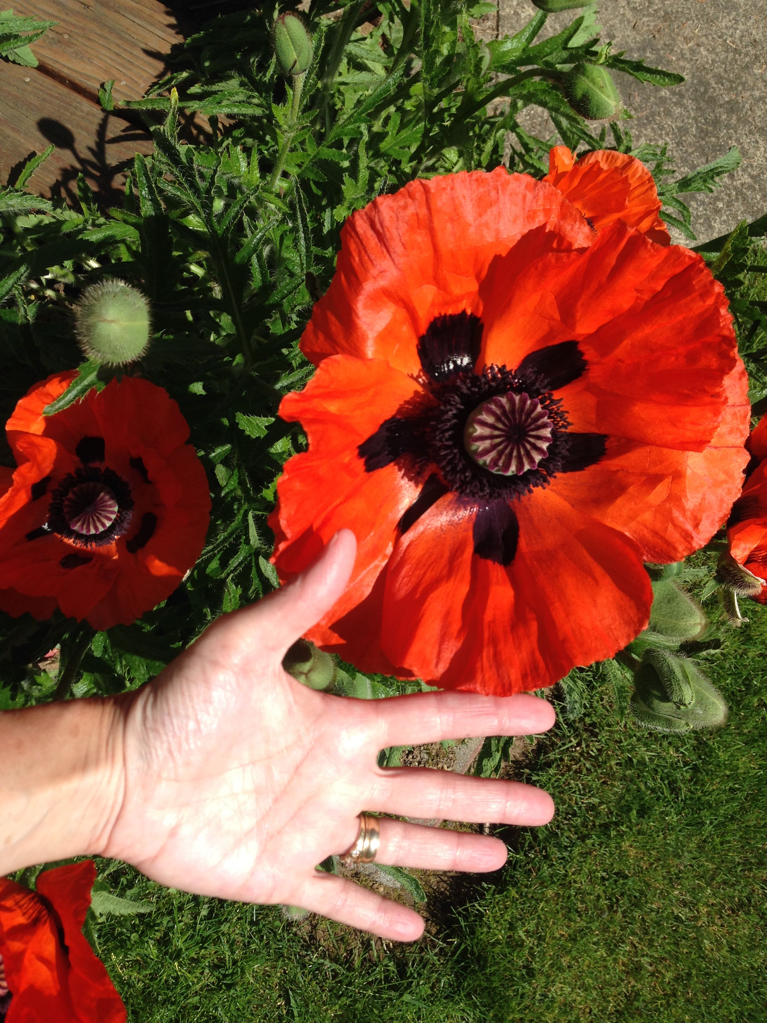 This poppy in my yard this year is enormous! :) Poppies are easy to grow & when they get crowded just dig some out and move them to a new spot.