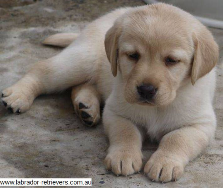 Adorable Labrador puppies for sale in NSW Australia by