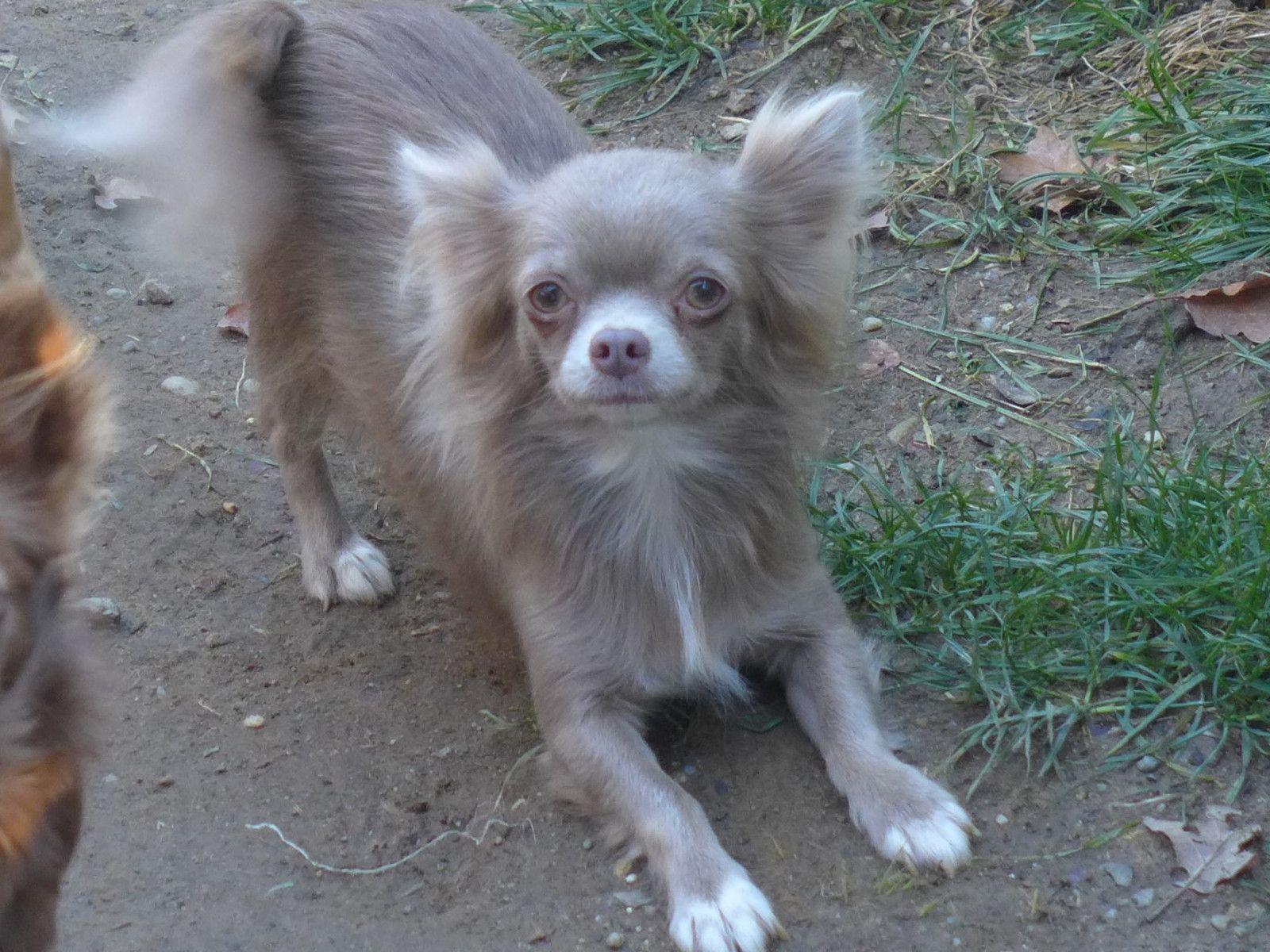 Savanna Lilac Chihuahua Long Hair Lustige Tiere Chihuahua Tiere