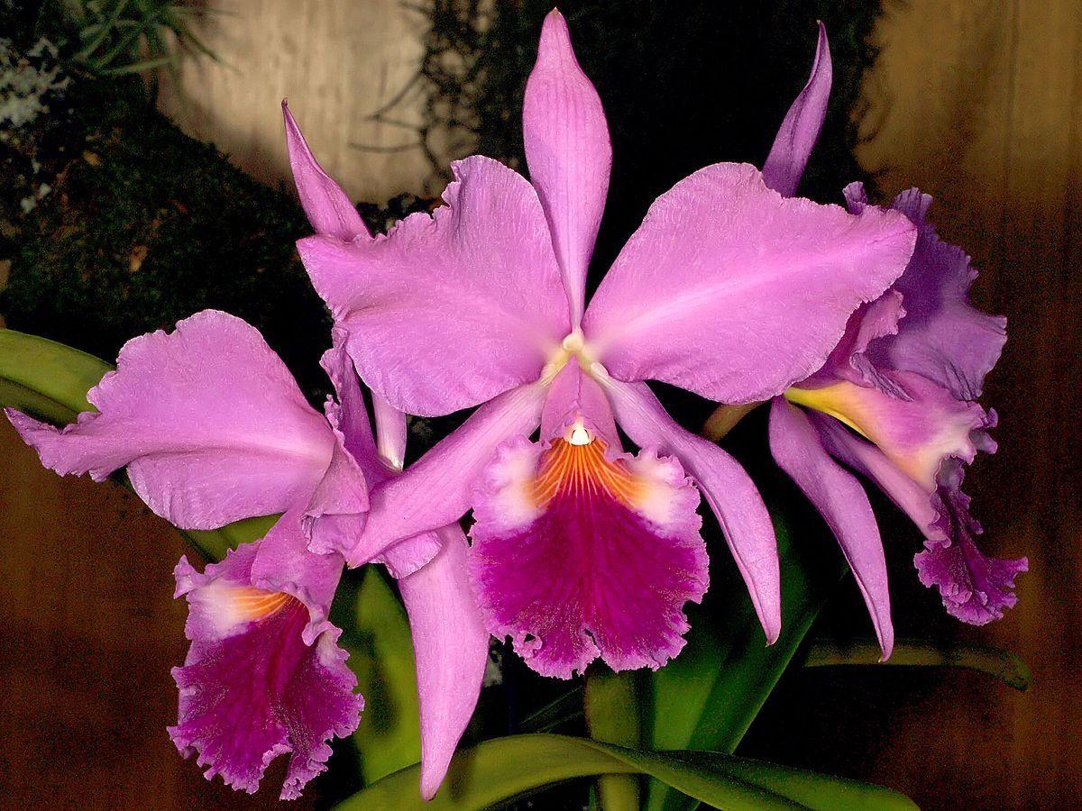 Flower Cutter Set Cattleya Orchid 3pc Set Cattleya Orchid Orchids Cattleya