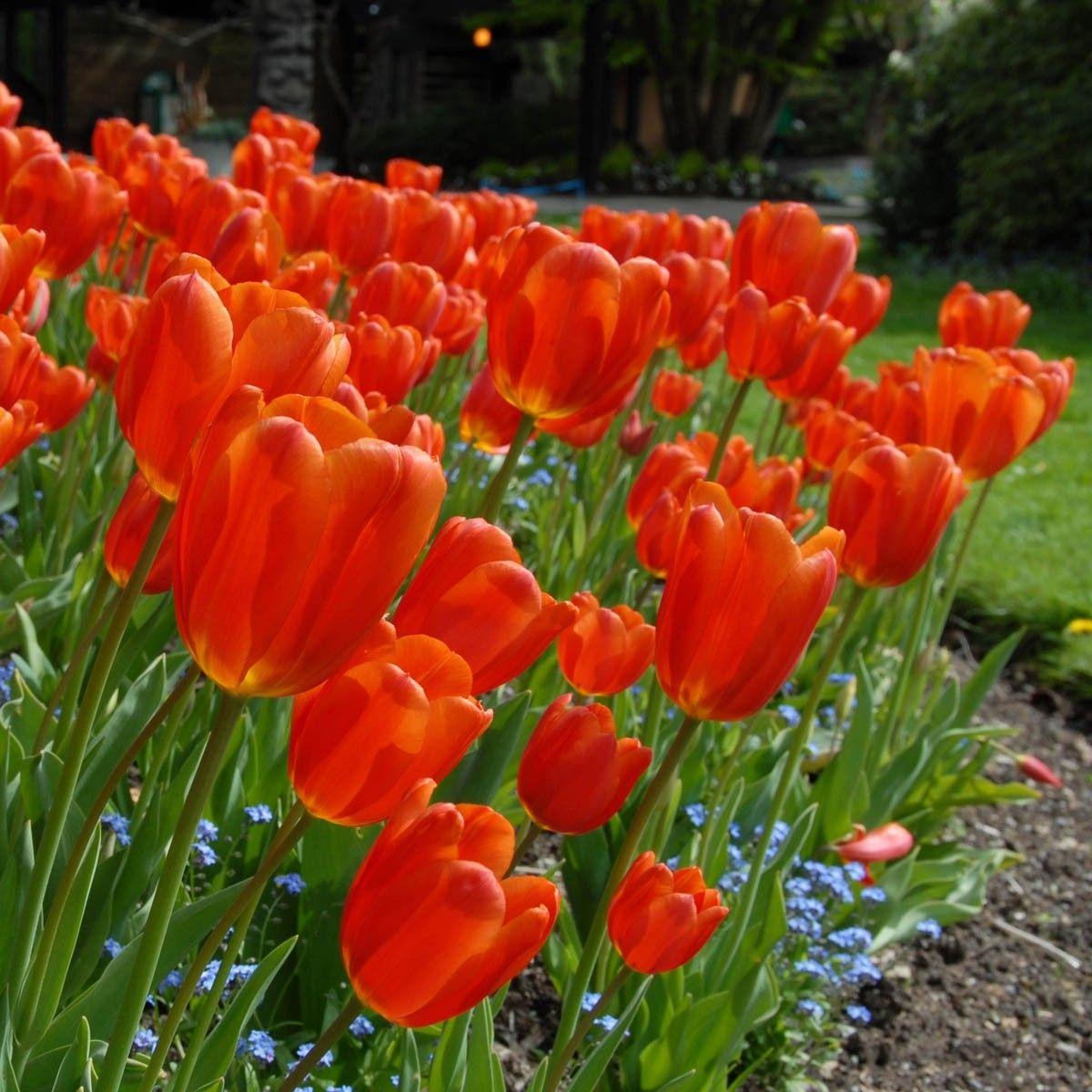 Die Tulpe Orange Juice Bluht Von Mitte April Bis Mitte Mai In Einem Fruchtigen Rot Orange Garten Blute Fruhling Tulipani Composizioni Floreali Floreale