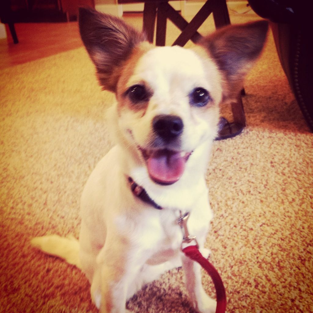 Chloe A Jack Russell Chihuahua Mix Jackhuahua Adopted From The
