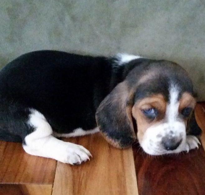 Litter Of 8 Basset Hound Puppies For Sale In Cartersville Ga Adn