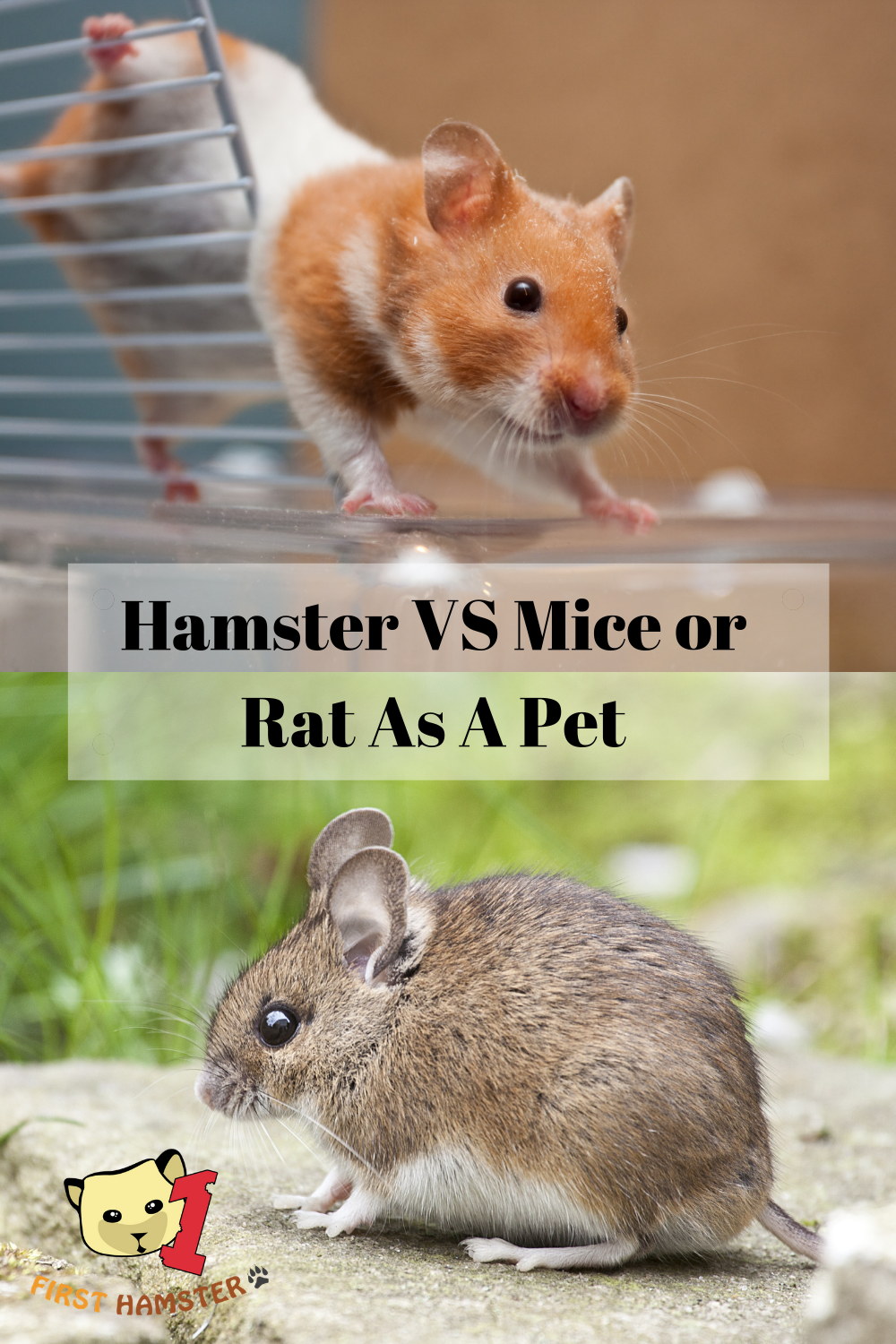Hamster Vs Rats And Mice Which Should You Keep As Pets