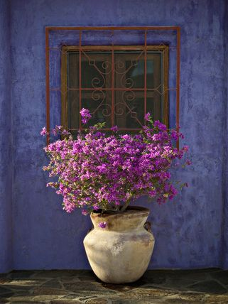 Bougainvillea with blue wall -- High quality art prints, canvases, postcards -- National Trust Prints