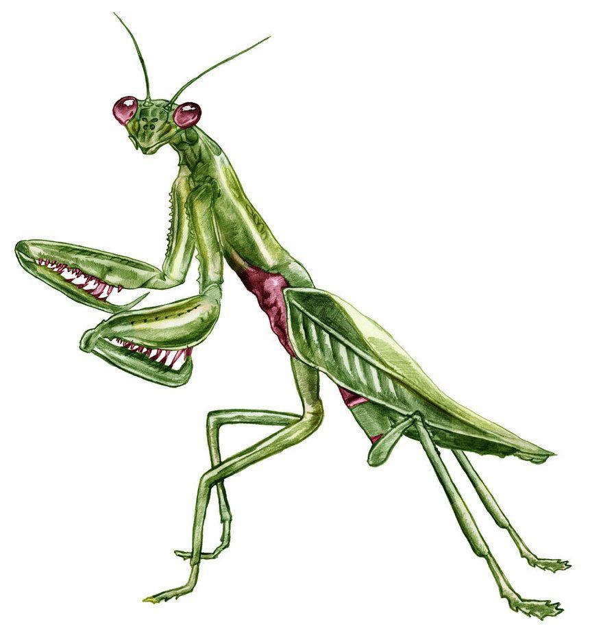 Praying Mantis Drawing | Wallpapers Gallery | body works ...