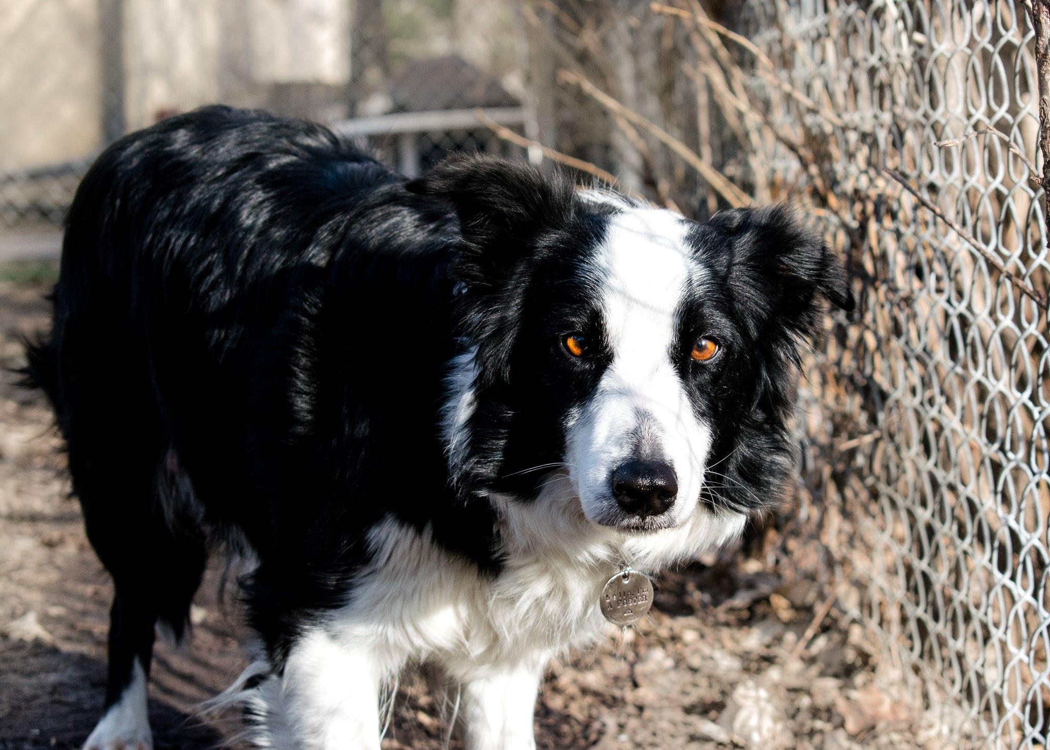 Border Collie dog for Adoption in Eden Prairie, MN. ADN