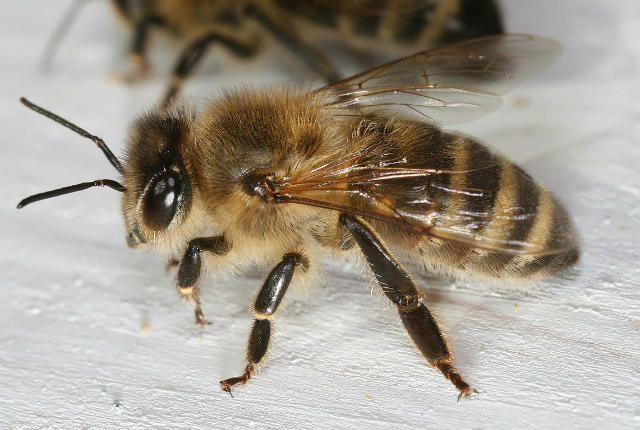 Why Worker Bees Don't Have Babies.   Scientists have identified a cellular pathway in workers that makes them susceptible to their queen's fertility-destroying pheromones.
