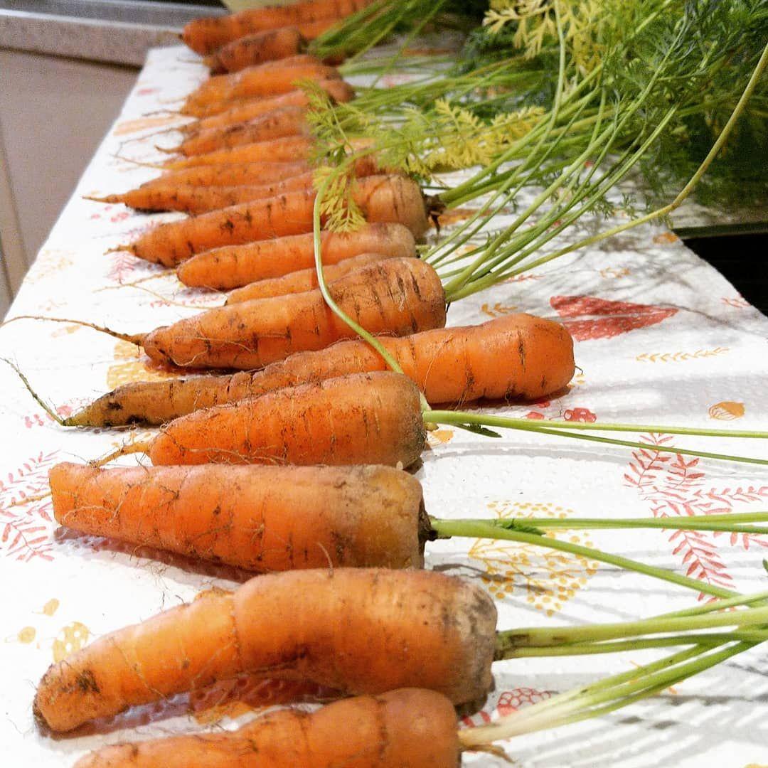 Erntefrische Mohren Aus Dem Eigenen Garten Mohren Ernte Herbst Gemuse Garten Carrot Harvest Autumn Vegetables Garden Vegetables Food Carrots