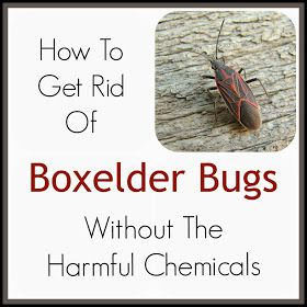 How to get rid of boxelder bugs gardening bugs garden - How to get rid of bugs in garden ...