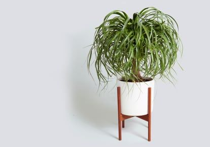 The Giant Houseplant Your Life Is Missing And How To Keep It Happy House Plants House Plants Indoor Plants