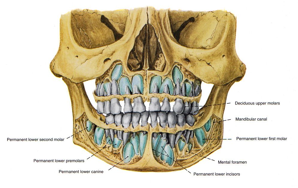 Frontal view of a 5 year old skull | Teeth | Pinterest | Anatomy ...