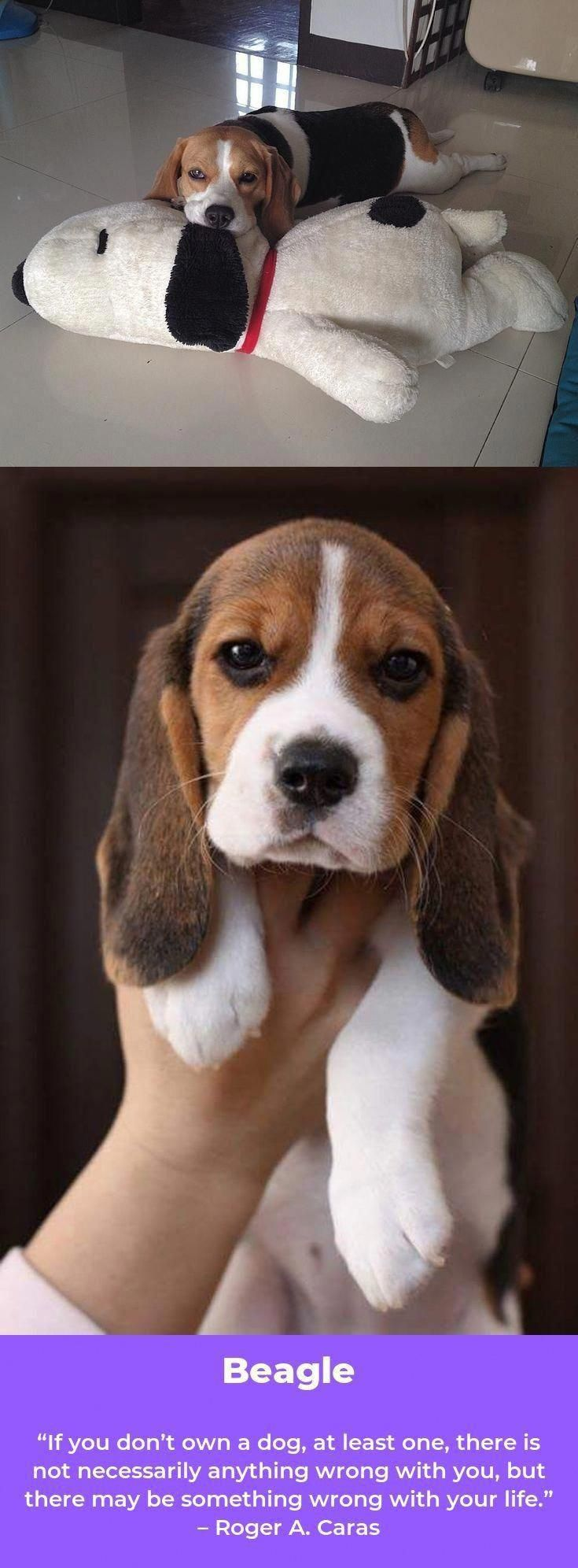 Obtain Wonderful Recommendations On Beagle Puppies They Are