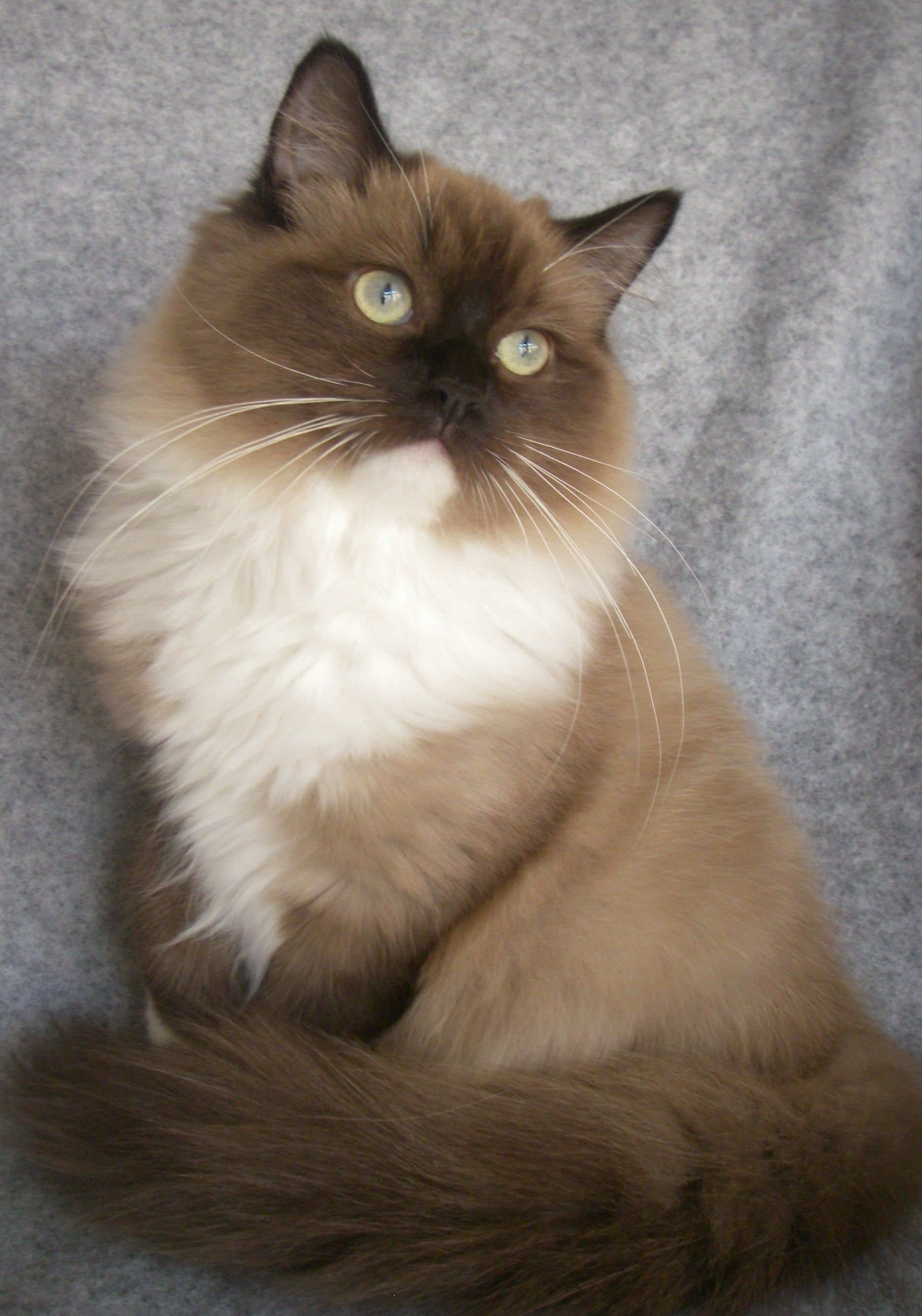 Beautiful sepia mitted mink ragdoll. If we ever get a cat
