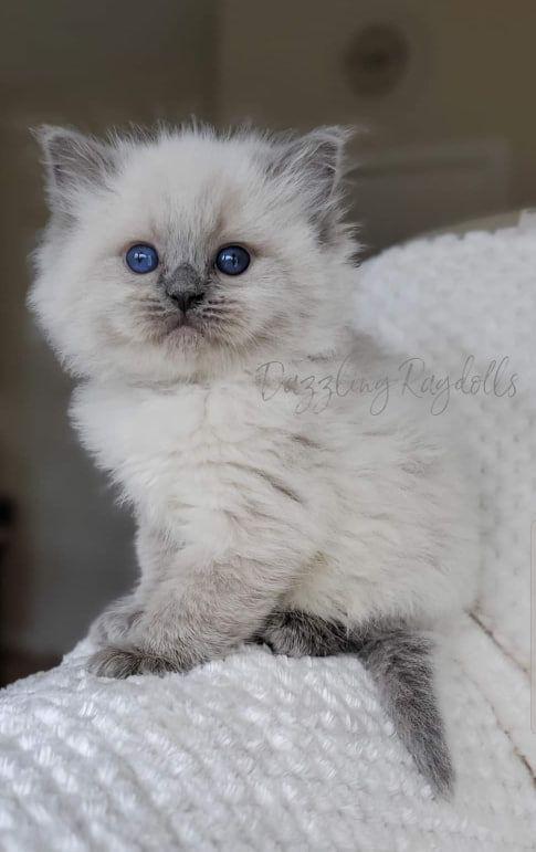 Blue Point Ragdoll Kitten Kocka