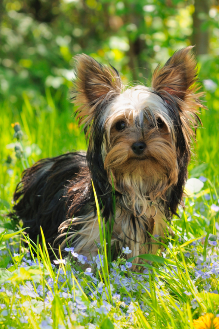 Puppy Yorkshire Terrier In The Grass Yorkshireterrier Yorkshire Terrier