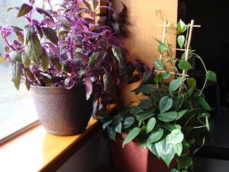 sunny window with purple velvet plant in full sun shading a heartleaf philodendron - Flowering House Plants Purple