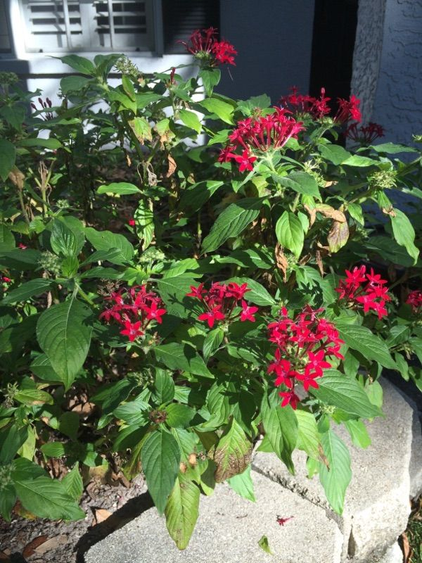 Star clusters or pentas pentas lanceolata appears to be pentas a star clusters or pentas pentas lanceolata appears to be pentas a colorful flowering perennial plant that is said to attract butterflies mightylinksfo