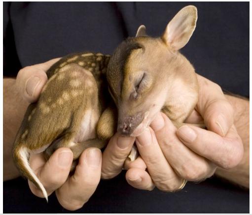 bebe deer