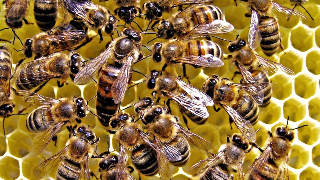 Bee Army How They Protect The Queen Bee HD Documentary