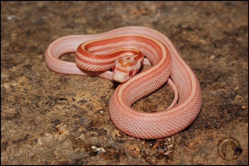 Amel Tessera Motley | Animals, Snake