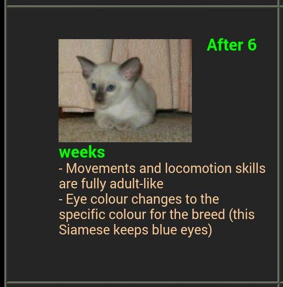 Siamese Kitten Development Week By Week Siamese Kittens Eye Color Change Siamese