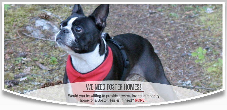 Boston Terrier Rescue Canada We Rescue Bostons Boston Terrier