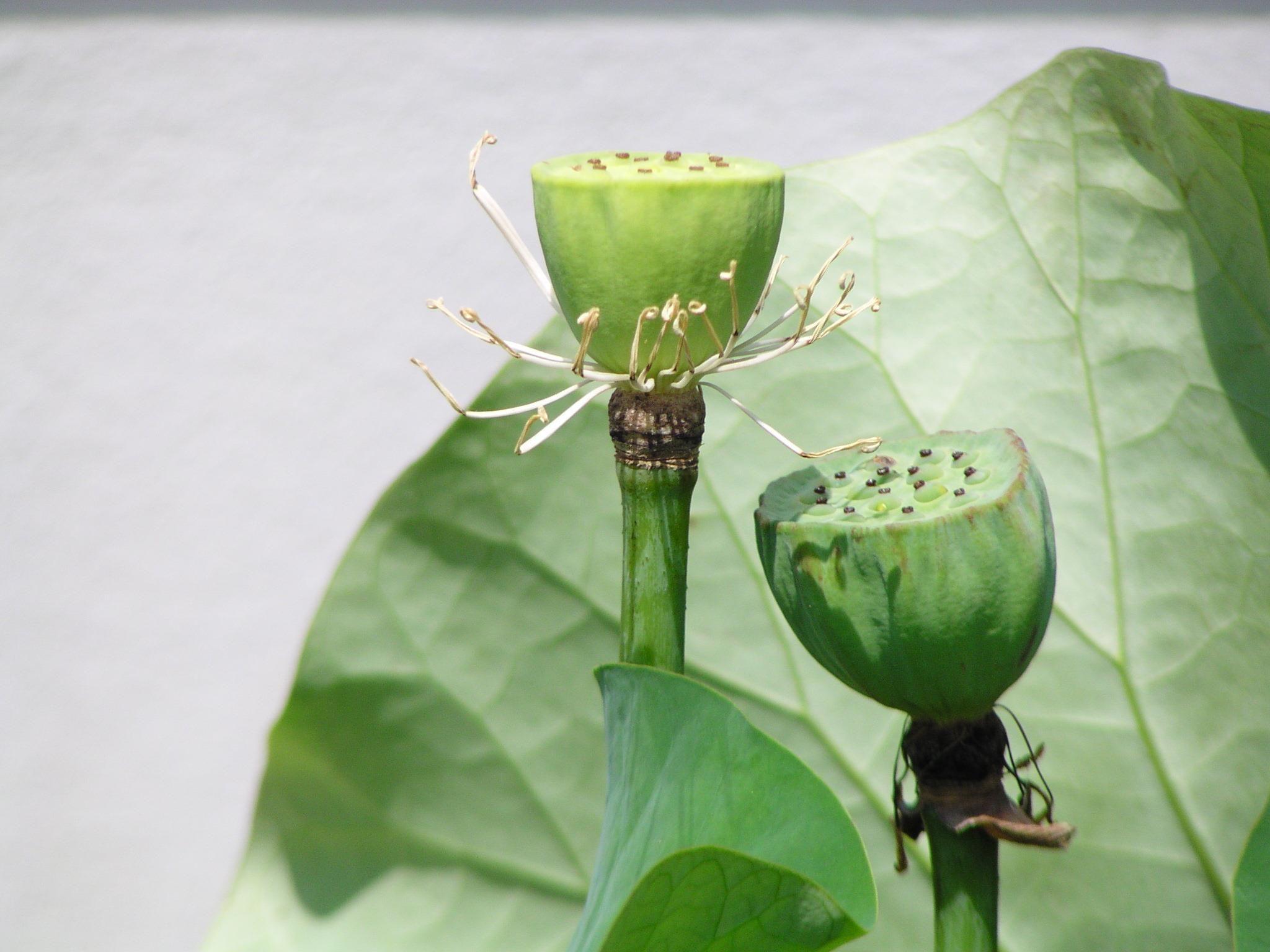Lotus Suan pluksasart