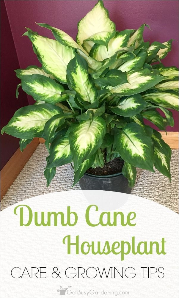 Dumb Cane Houseplant Care & Growing Tips | Get Busy Gardening