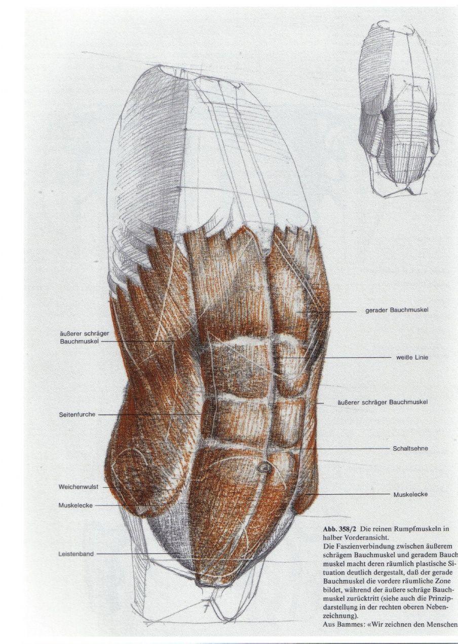 Gemütlich Muskeln Des Torsos Anatomie Bilder - Anatomie Ideen ...