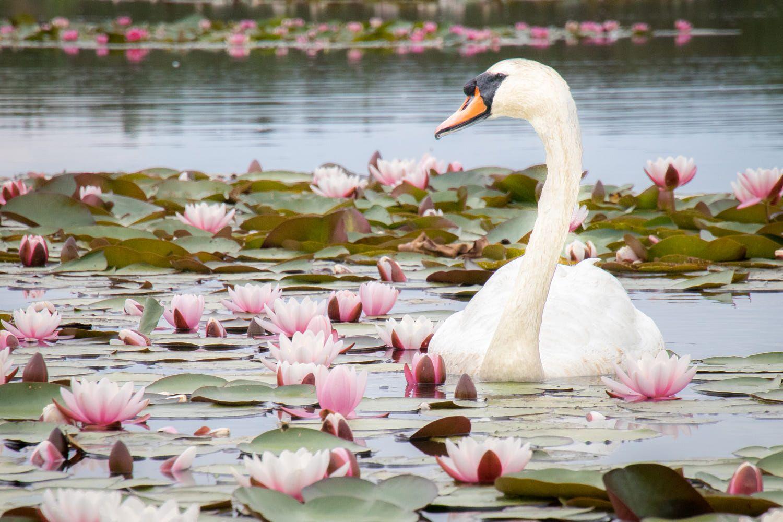 Картинки с лебедями на пруду и цветами