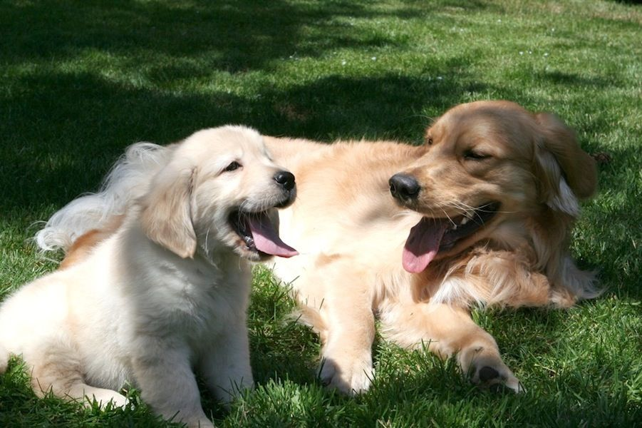 Northwest Goldens A Reputable Breeder Of Golden Retriever