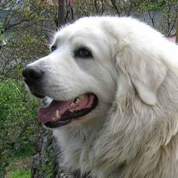 Словацкий чувач – описание породы, происхождение, темперамент. Фотографии собак породы словацкий чувач.