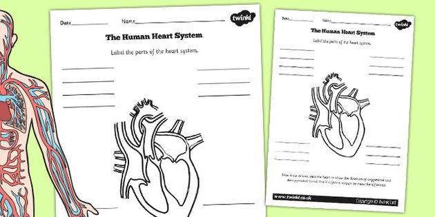The Human Heart Cardiovascular System Labelling Worksheet Nat 45