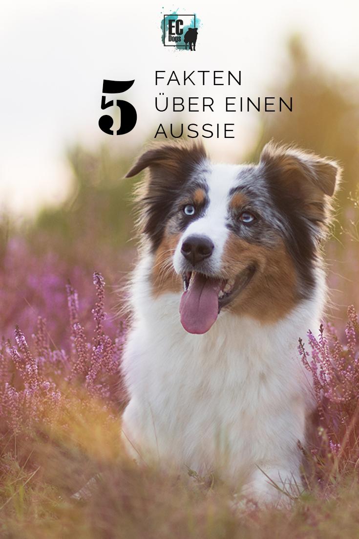 5 Fakten über Brooke Australian shepherd hund, Hunde