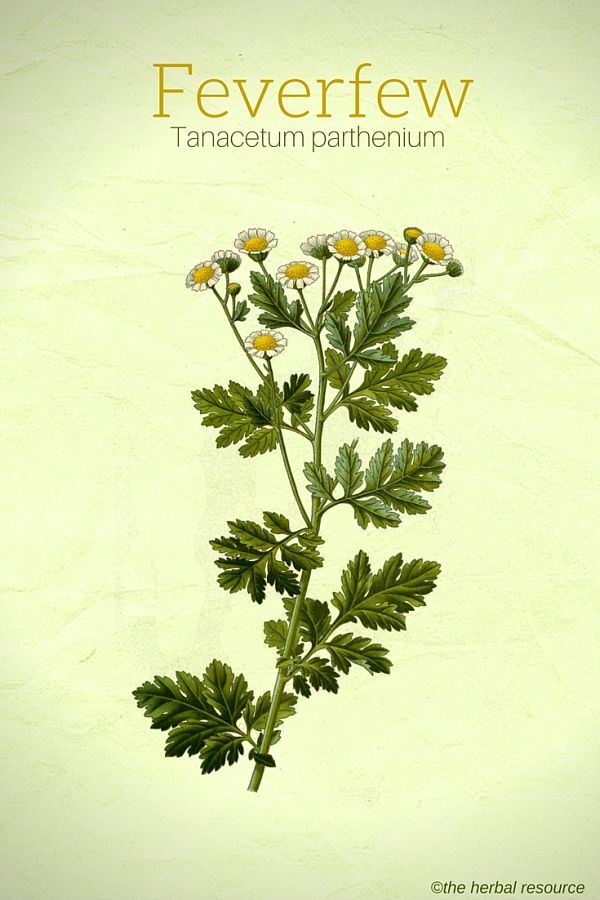 Feverfew Side Effects And Health Benefits Herbs Herbalism Feverfew