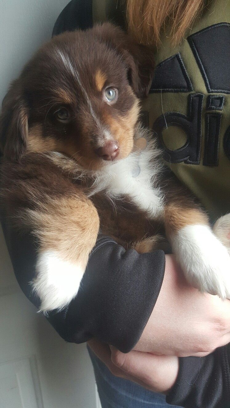 Female 8 Week Old Red Tricolor Mini Australian Shepherd Koda Find Her On Instagram Koda And Mini Australian Shepherds Australian Shepherd Aussie Puppies