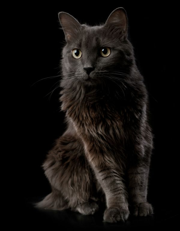In Honor Of Colonel Meow 6 Long Haired Cat Breeds I Love
