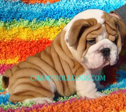 English Bulldog The Wrinkles Cute Animals Animals Friends
