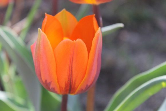 The Tulips Bloomed!