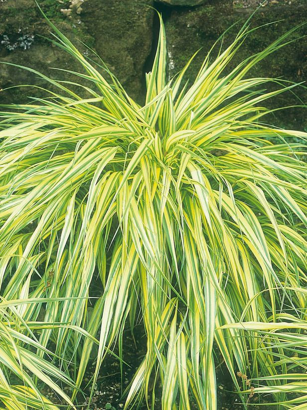Shade loving container plants green stripes bright for Full sun ornamental grass