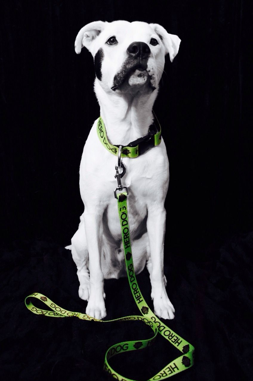 Stache is a HERO dog because he beat the shelter odds. He was rescued from Shelby County Animal Shelter in Sidney, OH in May 2013. He was on...